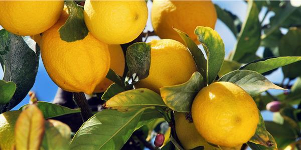 Gargano citrus fruits -Apuliatv